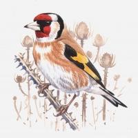 GF-Goldfinch2
