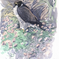 Peregrine-SouthStack14--920x1280-