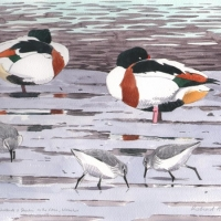 Colne-Shelducks
