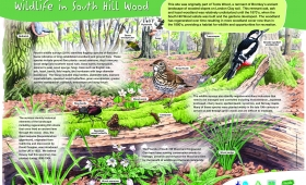 Interpretation board illustration for South Hill Wood