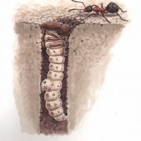 HeathTigerBeet-larva