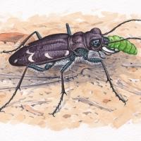 HeathTigerBeetle-Cicindela-sylvatica