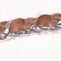 CommonShrewCaravan