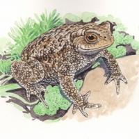 Toad-Bufo-bufo